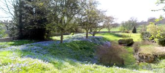 Scilla bithynica flowerbeds at Benington Lordship ]